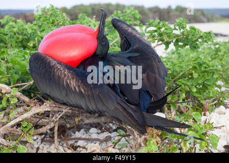 Great Frigatebird (Fregata minor) male courting female birds at a nesting colony by displaying fully inflated red - Stock Photo