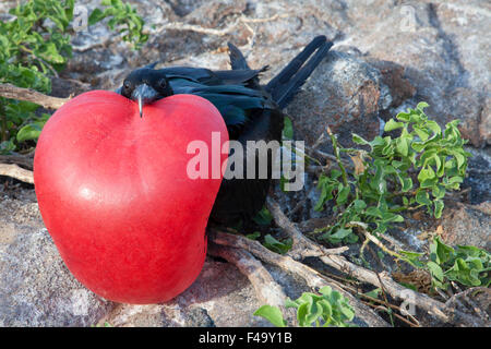 Great Frigatebird (Fregata minor) male  at nesting colony displaying fully inflated red gular pouch during courtship - Stock Photo