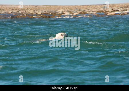 Canada, Nunavut, western shore of Hudson Bay, Kivalliq Region, Arviat. Polar bear (Ursus maritimus) swimming in - Stock Photo