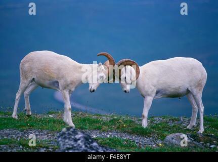 Dall Rams (Ovis dalli) jousting on ridge, Denali National Park, Alaska - Stock Photo