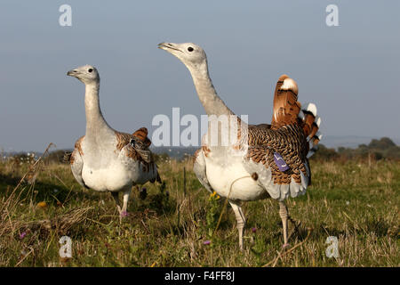 Great bustard, Otis tarda, two birds, Wiltshire, October 2015 - Stock Photo