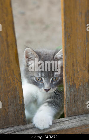 A small gray kitten playing in the grass with an old wooden fence. - Stock Photo