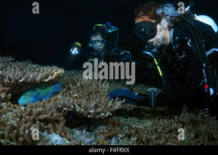 Young couple divers look at the sleeping bicolour parrotfish (Cetoscarus bicolor) night diving, Indian Ocean, Maldives - Stock Photo