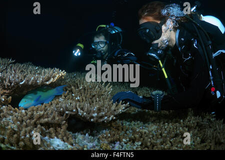 Indian Ocean, Maldives. 27th Sep, 2015. Young couple divers look at the sleeping bicolour parrotfish (Cetoscarus - Stock Photo