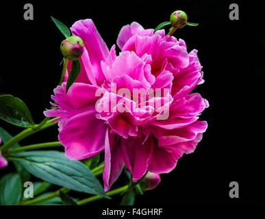 Closeup of an isolated pink peony flower on a dark background - Stock Photo