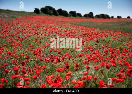 Poppy fields at Bevendean Down in the South Downs National Park near Falmer, East Sussex, England, UK in Summer - Stock Photo