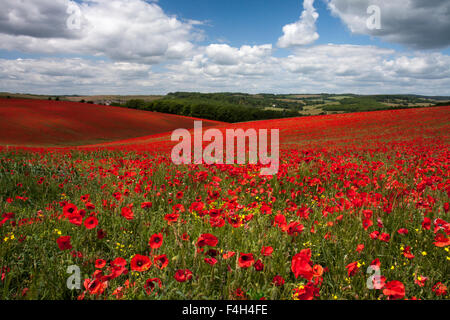 Poppy fields on the South Downs National Park near Falmer, East Sussex, England, UK in Summer - Stock Photo