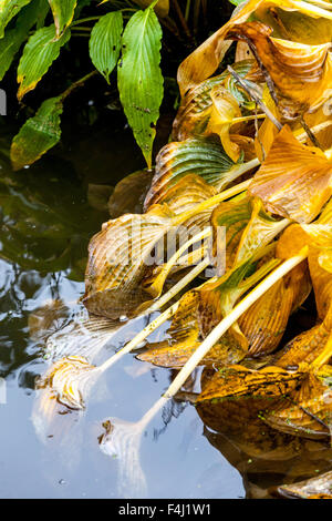Hosta plant autumn leaves - yellow leaves in the garden pond - Stock Photo