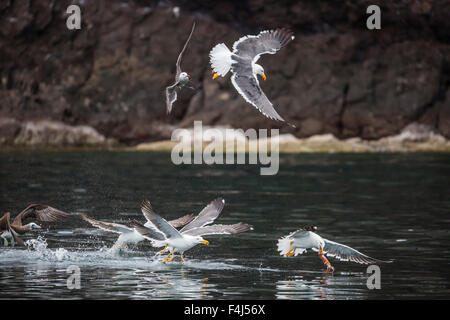 Yellow-footed gulls (Larus livens) and Heermann's gulls (Larus heermanni) fight for a squid on Isla Ildefonso, Mexico - Stock Photo