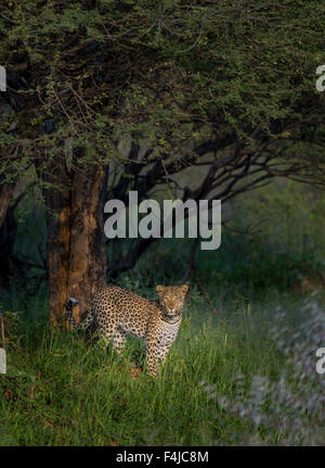 Leopard by a tree in Etosha National Park, Namibia, Africa - Stock Photo