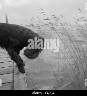 Dog peering into water from jetty - Stock Photo