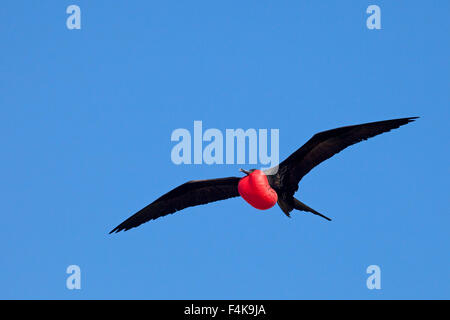Great Frigatebird (Fregata minor) male soaring over nesting area with fully inflated red gular pouch during courtship - Stock Photo