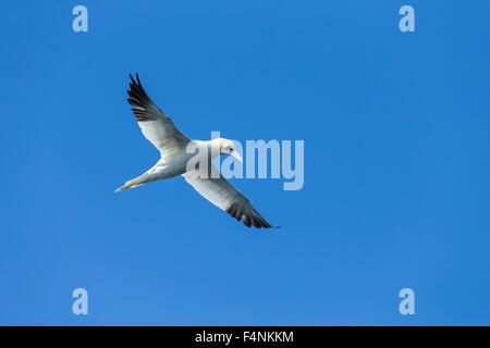Northern gannet Morus bassanus, adult in flight against blue sky, Bempton Cliffs, East Riding of Yorkshire, UK in - Stock Photo