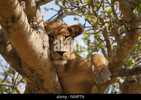 Lion laying down falling asleep in a tree - Stock Photo