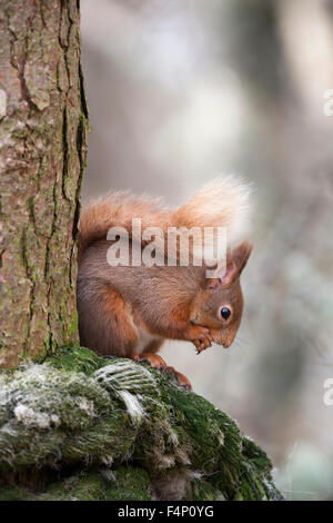 Red squirrel Sciurus vulgaris, feeding, perched on tree, Abernethy Forest, Scotland, UK in April. - Stock Photo