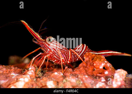 Red Durban Dancing Shrimp Isolated on Black Background - Stock Photo