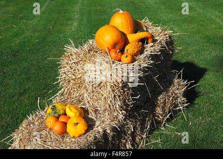 Thanksgiving Day decoration, pumpkins on a straw bale, Cucurbita maxima, Hokkaido Red kuri squash, summer squash, - Stock Photo
