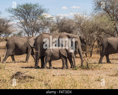 Herd of elephants in Tarangire National Park in Tanzania, Africa. Mother with one tusk and a baby in the focus. - Stock Photo