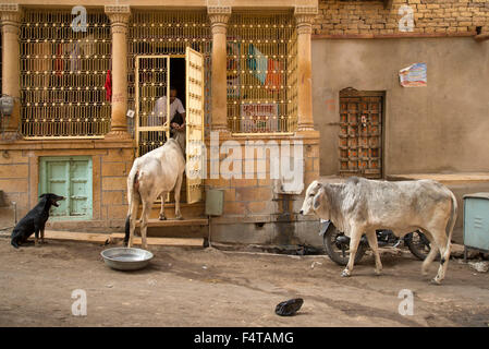 Asia, India, Rajasthan, Jaisalmer, man feeding cows in old city - Stock Photo