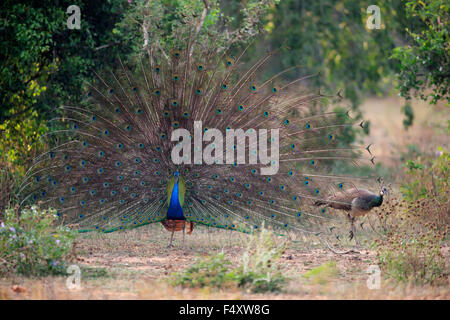 Indian peafowl or blue peafowl (Pavo cristatus), adult peacock spreading feathers, courtship display, couple, peahen - Stock Photo
