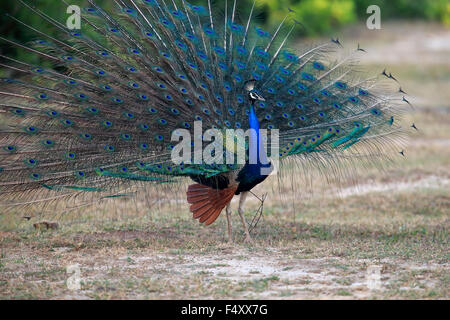 Indian peafowl or blue peafowl (Pavo cristatus), adult peacock spreading feathers, courtship display, Bundala National - Stock Photo