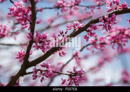 Eastern Redbud tree (Cercis canadensis) in full bloom in the spring - Stock Photo