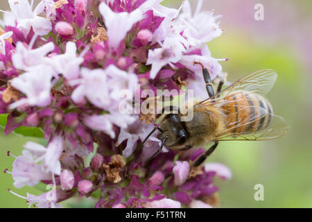 Honey bee taking a rest on purple flower - Stock Photo