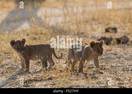 Africa, Zimbabwe, Zimbabwe, Matabeleland North Province, Hwange National Park, lion cub, - Stock Photo