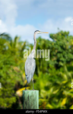 Great Blue Heron, Ardea herodias, one of the large wading herons standing on post  as vantage point, Captiva Island, - Stock Photo