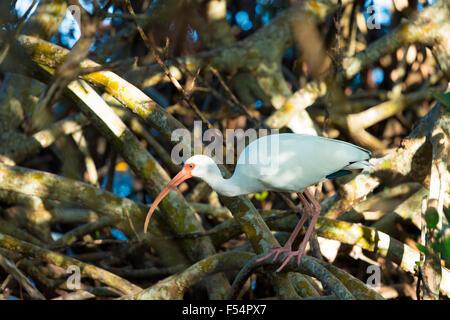 American White Ibis, Eudocimus albus, a wading bird, on Captiva Island, Florida USA - Stock Photo