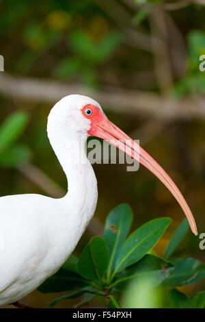 American White Ibis, Eudocimus albus, a wading bird with long curved bill, on Captiva Island, Florida USA - Stock Photo