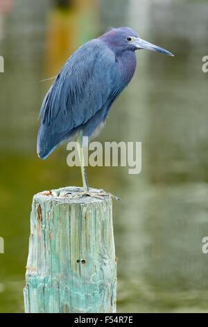 Little Blue Heron, Egretta caerulea, wading bird standing on one foot on a pole at Captiva Island, Florida, USA - Stock Photo