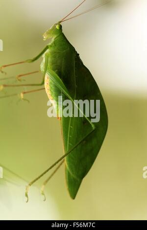 Green Katydid at the observatory lodge in La Fortuna, Costa Rica - Stock Photo