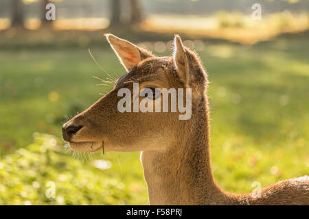 Close-up of a female fallow deer ( Dama dama ) with blades of grass sticking out of her mouth in unfocused landscape - Stock Photo