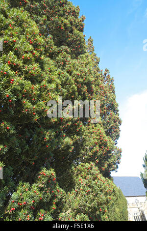 Yew tree with bright red female berries - Stock Photo