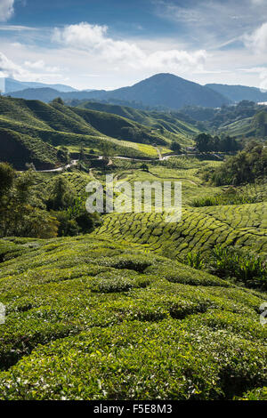 Tea plantations in the Cameron Highlands, Malaysia, Southeast Asia, Asia - Stock Photo