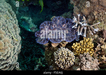 Giant clam, Tridacna maxima, in a coral reef at Seche Croissant, Noumea, New Caledonia - Stock Photo
