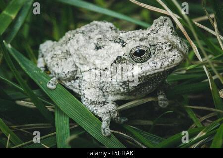 Eastern gray tree frog (hyla versicolor), Maryland, USA - Stock Photo