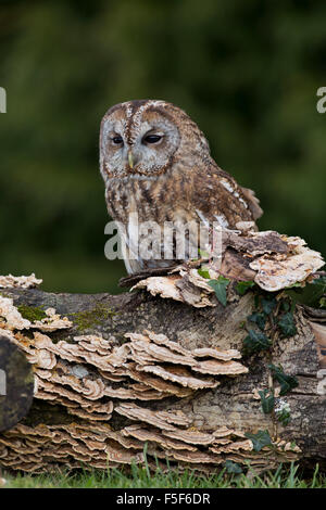 Tawny Owl; Strix aluco Single on Log; Scotland; UK - Stock Photo