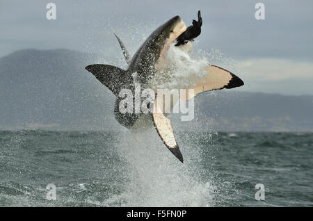 Great White Shark (Carcharodon carcharias) breaching in an attack. Hunting of a Great White Shark (Carcharodon carcharias). - Stock Photo