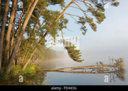 Trees on the shore of the loch eventually fall into the water as the bank is eroded - Stock Photo