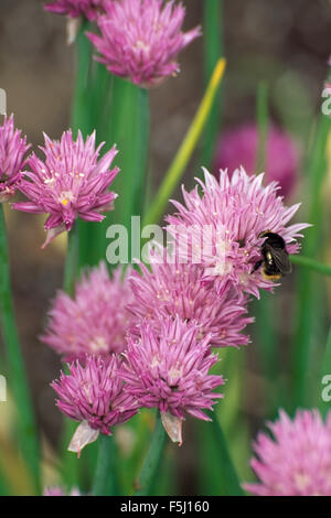 Close-up of a bee on a pink flowering allium - Stock Photo