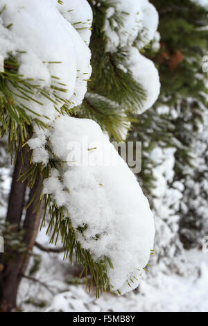 Blanket of snow covering pine tree in a forest. - Stock Photo