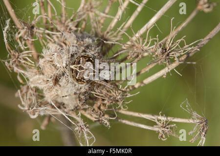 Closeup shot of a sp. Agalenatea redii spider sitting in its nest. - Stock Photo