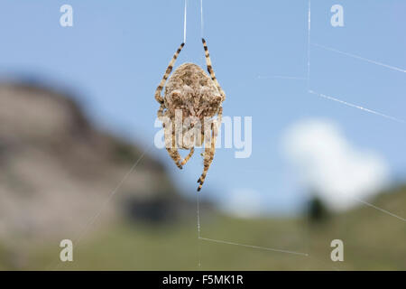 Macro of a sp. Araneus angulatus spider praying on its web and out of focus landscape in background. Lemnos island, - Stock Photo