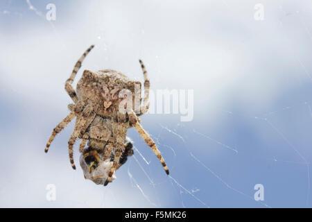 sp. Araneus angulatus spider packing its pray on its web. Lemnos island, Greece - Stock Photo