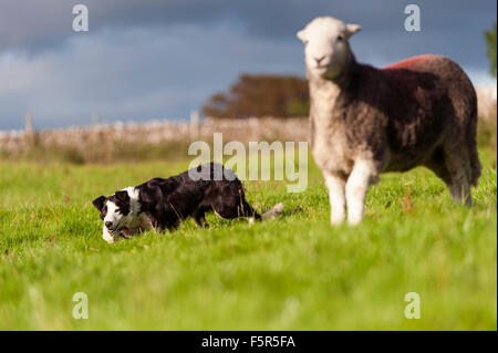 Border collie sheepdog working a herdwick ewe. - Stock Photo
