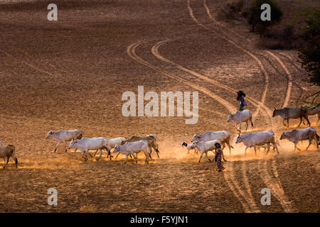 Lifestyle of Burmese bring cow and goat group walking on road in Bagan , Myanmar - Stock Photo