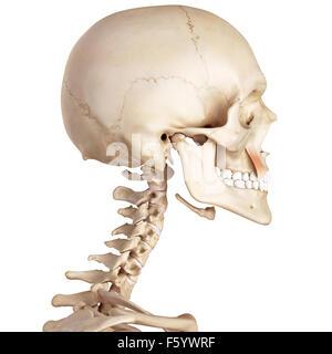 medical accurate illustration of the levator anguli oris - Stock Photo