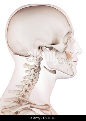 medically accurate muscle illustration of the levator anguli oris - Stock Photo